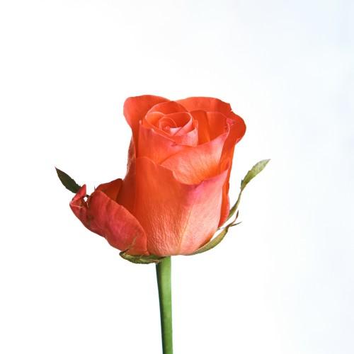 Роза ВОВ